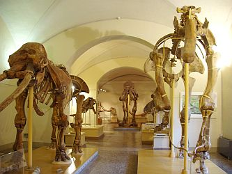 Fossil skeletons of early elephants.