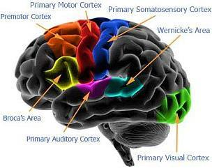 Map of Human Brain's Cortexes